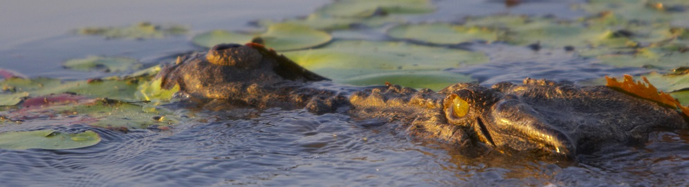 The Feeding and Breeding Habits of Australian Saltwater Crocodiles