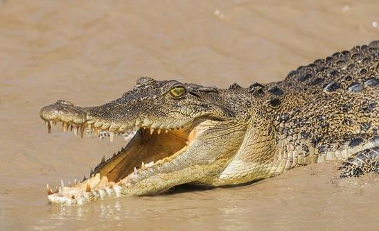 salt-water-crocodile.jpg