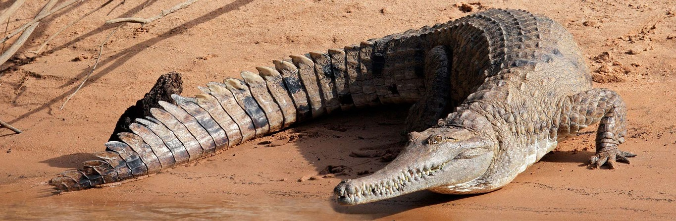How have crocodiles survived for so long?